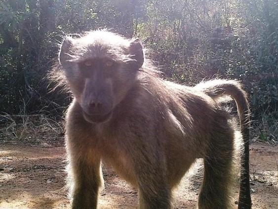 baboon-selfie